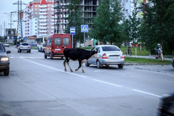 коровы в нефтеюганске|Фото: